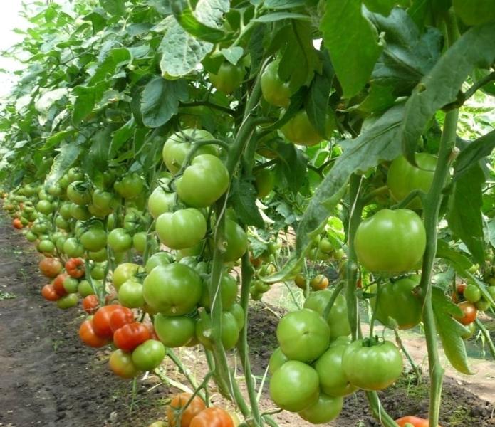 Растения очень чувствительны к температурным колебаниям, не любят заморозки, изнуряющую жару и засуху