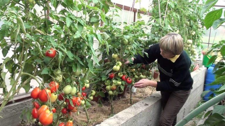 Один куст может содержать плоды различной степени зрелости. Поэтому срывать нужно в первую очередь самые зрелые томаты