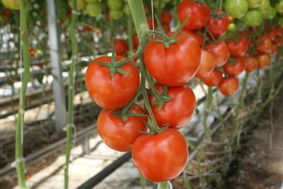 Существует множество сортов томатов