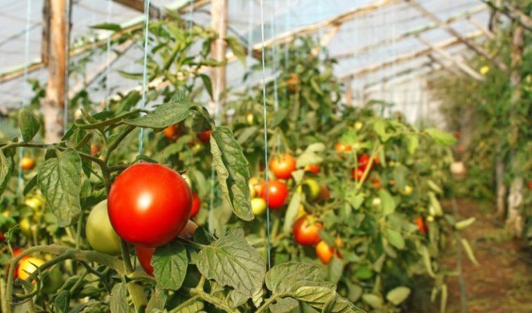 Если у вас теплица одна, то лучше туда посадить томат: он самый капризный