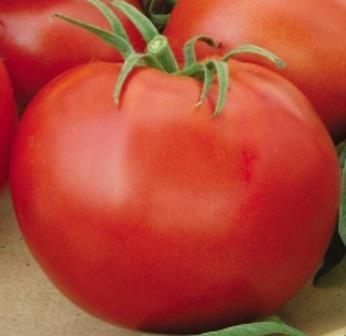 Сорт томата Джина считается лучшим среди крупноплодных помидоров
