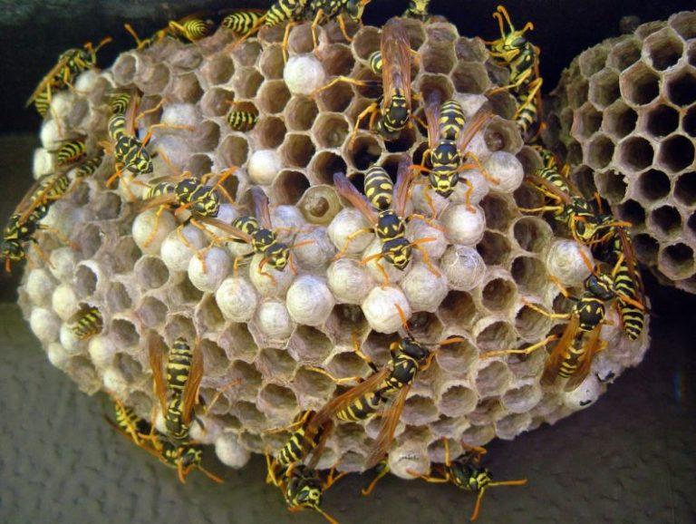 Польза по снижению численности гусениц совок осами значительно превышает вред, который могут приносить эти насекомые