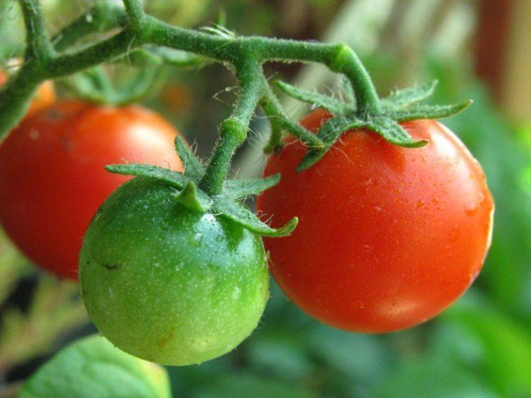Специалисты уверяют: зеленые помидоры, независимо от того, где они выросли, собирать не только можно, но и нужно
