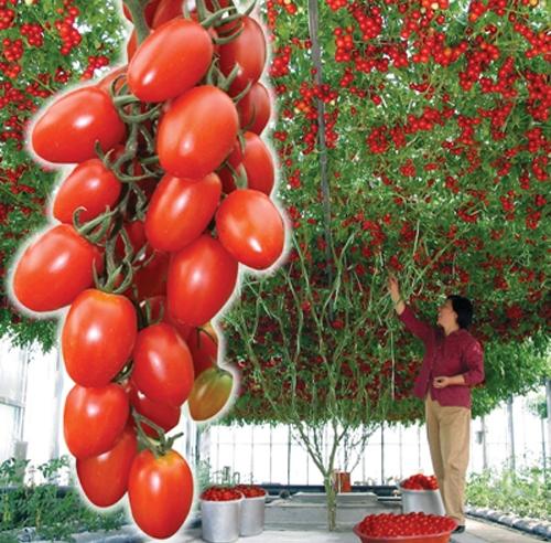 Наиболее устойчивый вид к гниению среди томатов того вида - спрут сливка