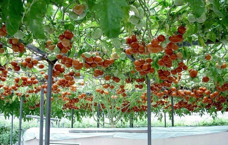 Появление изображений данного томатного дерева вызывало в мире большое количество споров