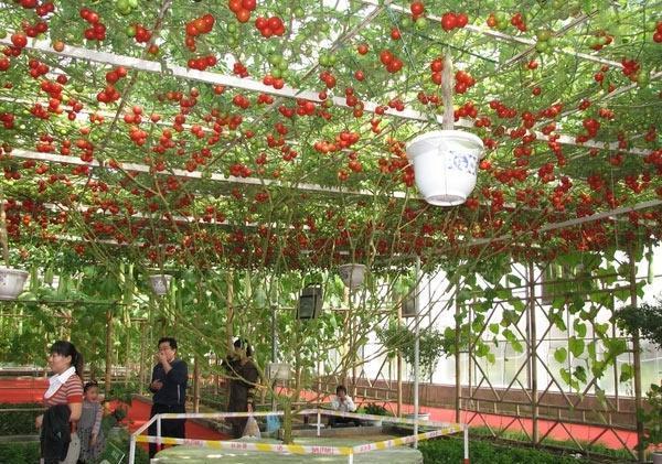 Одно томатное дерево Спрут F1 в течение года может произвести порядка 100 тыс. плодов томатов