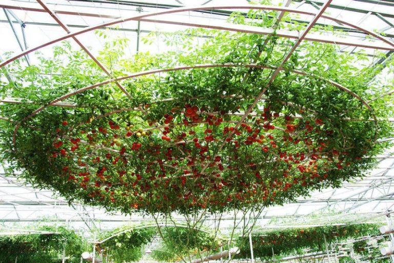 Световой день для томата Спрут обязательно должен составлять половину суток, то есть 12 часов