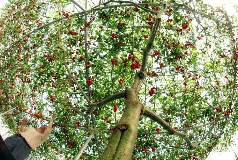 Главной сложностью при формировании дерева-томата принято считать большое количество постоянно появляющихся побегов, с которыми практически невозможно бороться