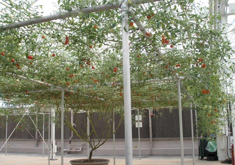 Есть небольшая дачная хитрость: чтобы на кусте вызрело больше плодов, лучше снимать только плоды, которые начали краснеть (или буреть) совсем недавно