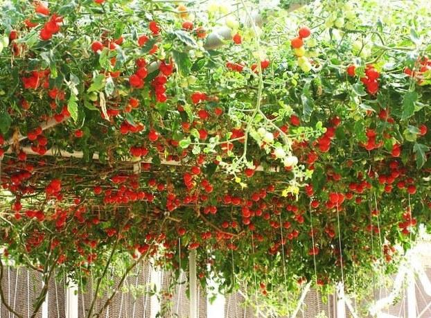 Томатное дерево Спрут особенно нуждается в проведении подкормок