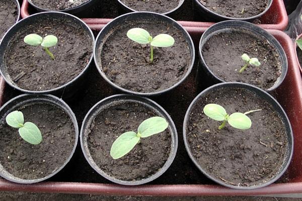 Хорошим решением будет не только прорастить семена, но и высадить их сначала в пластиковые стаканчики