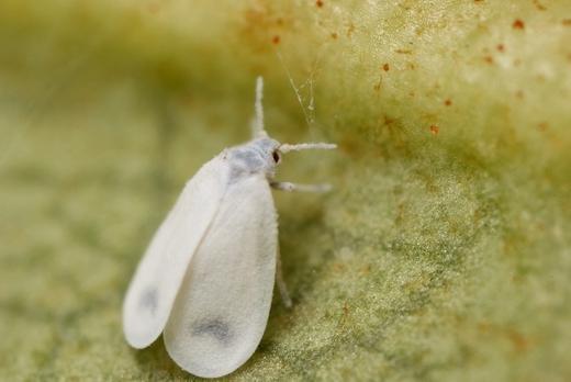 Белокрылка - опасный вредитель растений