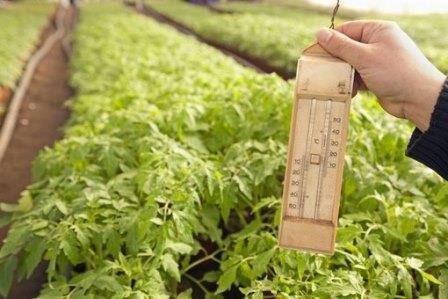 При какой температуре растут помидоры в теплице и в открытом грунте?