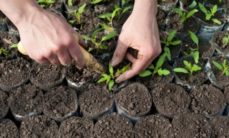 Рассаду пересаживают в пасмурные дни, в жаркую погоду - вечером, перед высадкой растения поливают и подкармливают