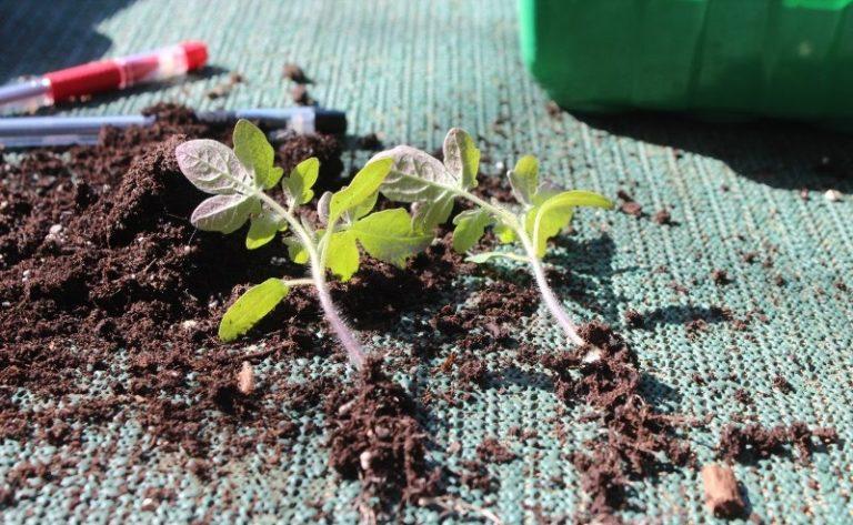 Рассаду томатов пересаживают в большие горшочки, когда ей уже тесно в маленьких, примерно через 20-25 дней после пикировки