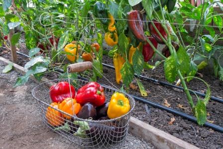 Секреты тепличного выращивания перца