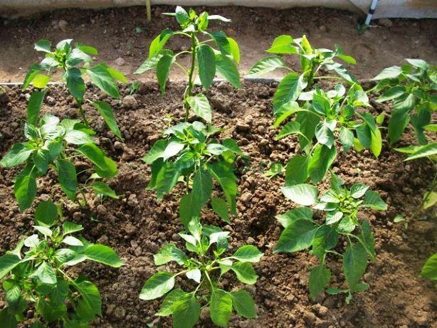 Выращивают перец не только с учетом севооборота, но и с обязательным внесением удобрений