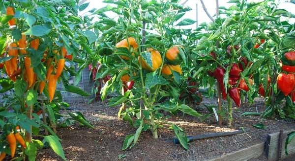 Выращивание перцев в теплице не требует от овощевода каких-то особенных агротехнических приемов