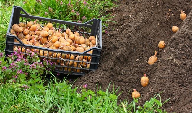 В мае продолжается высаживание картофеля среднего и позднего сорта