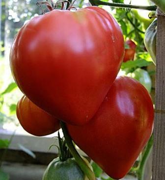 Удивительный овощ принадлежит к раннеспелым томатным видам