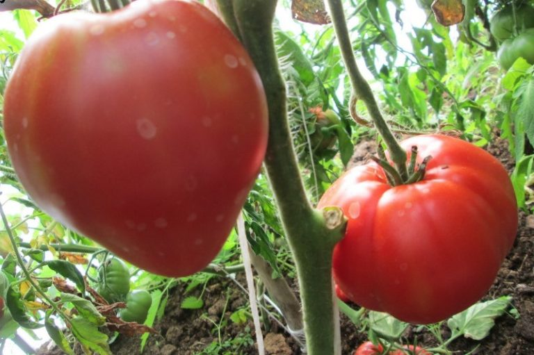 Сорвать первый зрелый плод можно на 90 день с момента прорастания семени