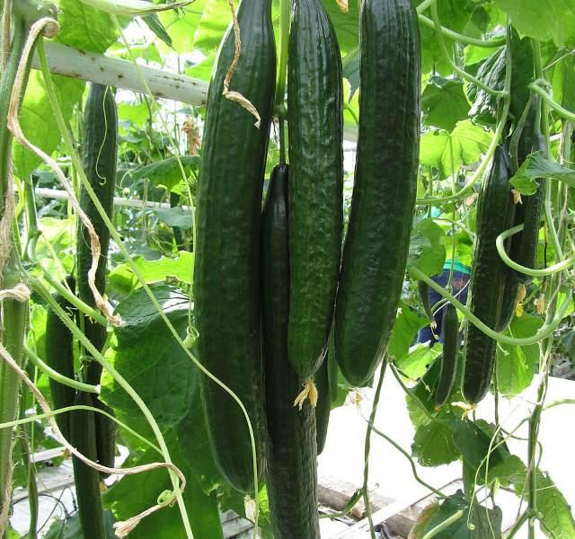 В целях более раннего созревания плодов китайского огурца выращивание осуществляют в теплицах