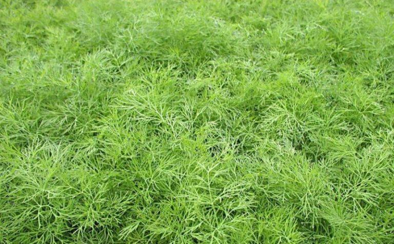 Чтобы быстро получить урожай, посадить семена рекомендуется на влагоемких грунтах