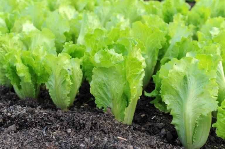 Особенности выращивания салата заключаются в обеспечении подходящего ему температурного режима