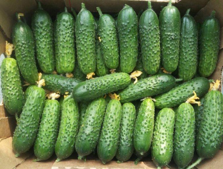 Герман — самоопыляемый сорт, который можно употреблять как в виде корнишонов, так и больших плодов