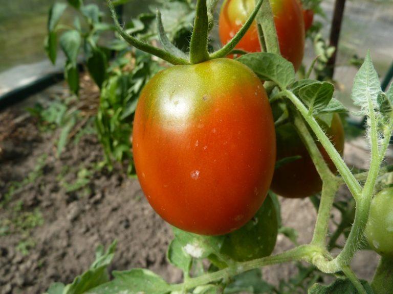 Это среднепоздний томат, который начинает плодоносить только спустя 115-120 дней после посева семени в почву