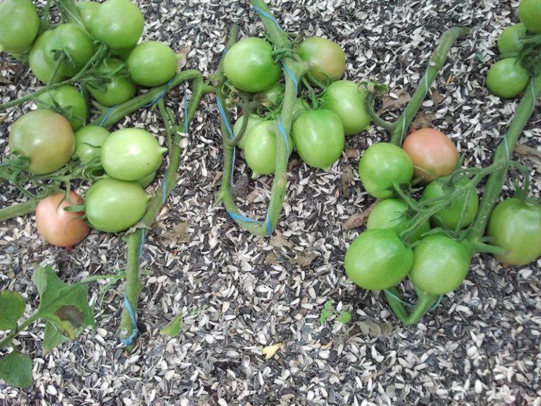 Широкая популярность сорта обусловлена не только потрясающим вкусом, но и тем, что выращивание томатов не доставляет много хлопот