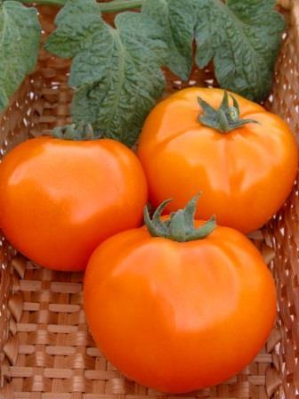 Сорт имеет массу преимуществ по сравнению с другими разновидностями томатов