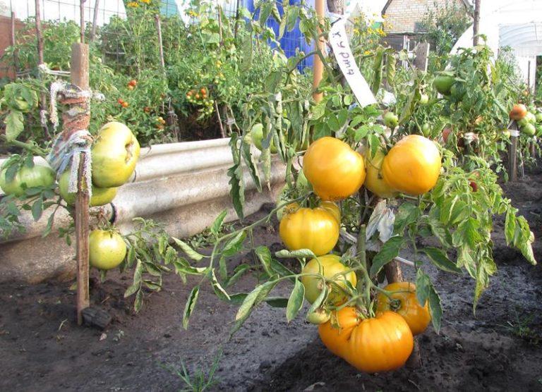 Спеют плоды сорта хурма в то же время, что и другие сорта томатов
