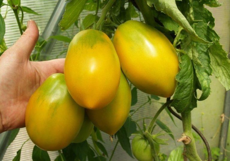 Сорт томата относится к среднеспелым гибридам, от посева семян до появления первых зрелых плодов требуется период в 110-115 дней