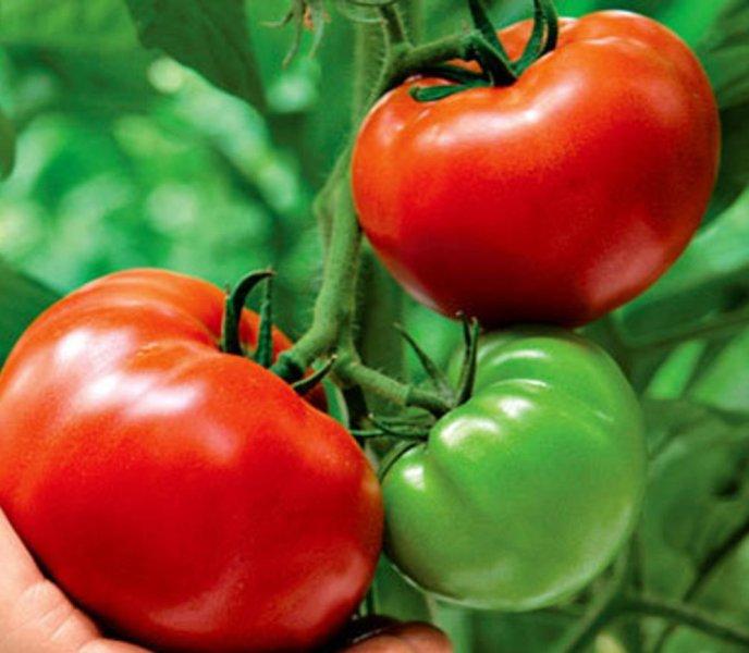 Голландские селекционеры преуспели не только в выведении тюльпанов, но и помидорных сортов
