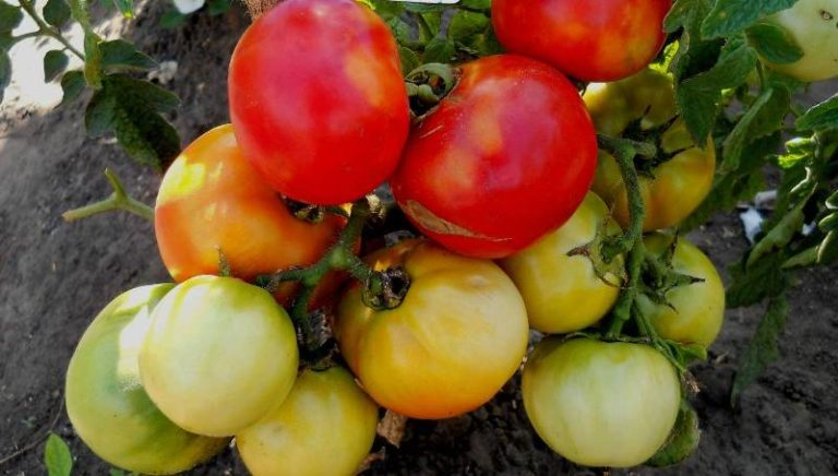 Мякоть томата Толстой наполнена массой полезных компонентов, которые необходимы для организма человека