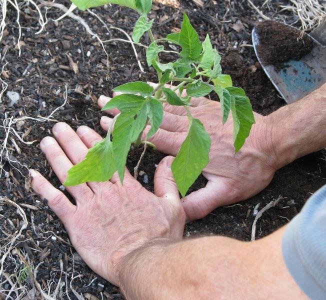 Все теплолюбивые растения, томаты — в том числе, выращивают из рассады