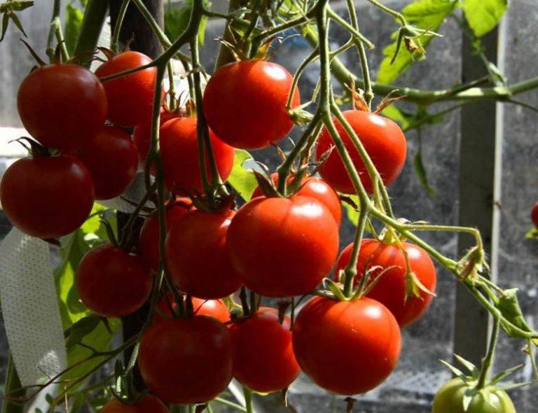 Хотя овощи чуть кислят, отзывы огородников доказывают, что это ничуть не портит общие вкусовые качества томатов