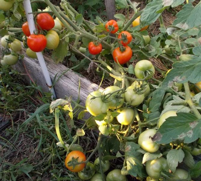 Теплолюбивые помидоры, в южных регионах их можно выращивать в открытом грунте, в центральной России и в Сибири лучше посадить в парник