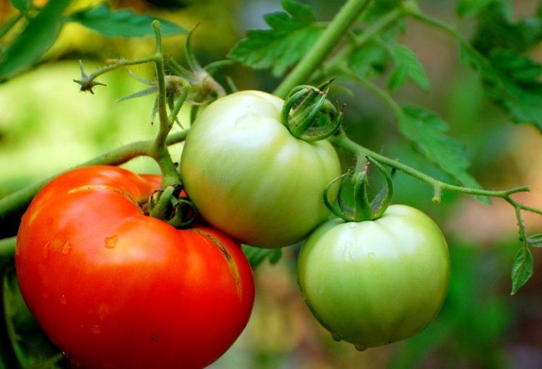 Масса одного томата колеблется от 50 до 80 г.