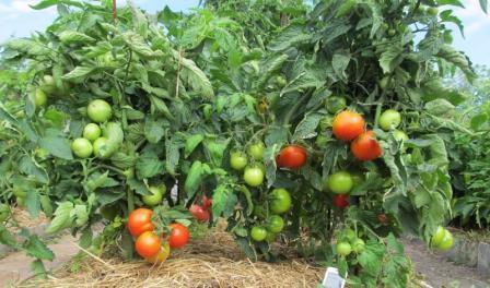 Вырастить прекрасный урожай овощей за короткий период непросто. Осуществить такое желание помогут томаты низкорослые для открытого грунта