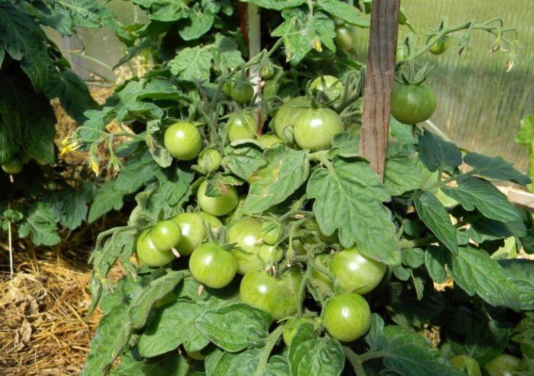 Высота взрослого растения достигает не более 75 см, кусты не нужно избавлять от лишних побегов
