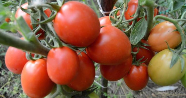 Томат Непасынкующийся Подснежник можно предложить огородникам, которые выращивают помидоры в северных регионах нашей страны, например, жителям Урала или Карелии