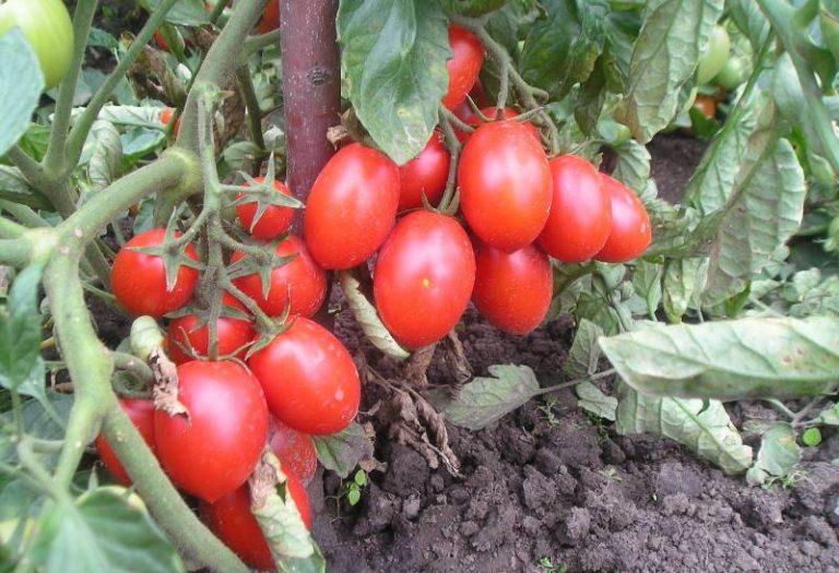 Эти помидоры относятся к детерминантным, среднеспелым сортам