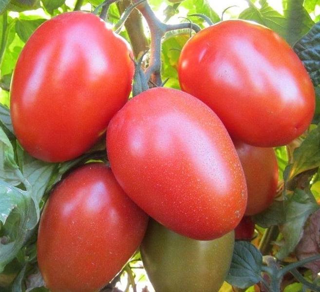 Красные плоды имеют сливовидную форму, плотную мякоть с повышенным содержанием сахара