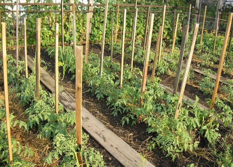 Важно знать, как спасти томаты от фитофторы