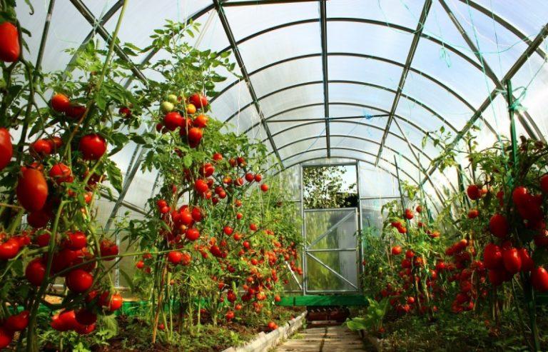 Придерживаясь всех правил пасынкования, можно вырастить в теплице в Сибири отличные помидоры