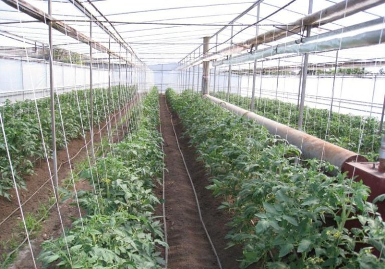 Тепличные скороспелые сорта следует выращивать только в парнике