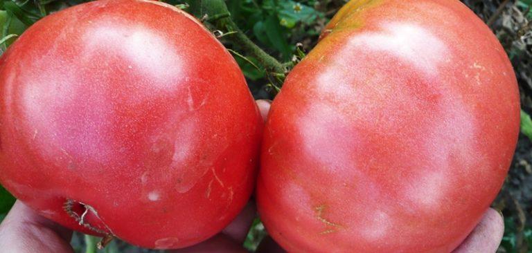 Зрелые помидоры окрашены в темно-розовый цвет