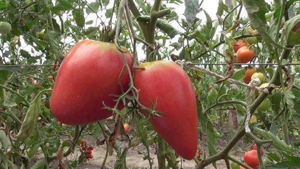 Для того чтобы куст смог выдержать вес урожая, его необходимо своевременно подвязывать